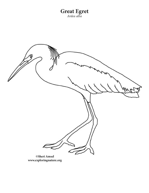 Egret Great Coloring Page