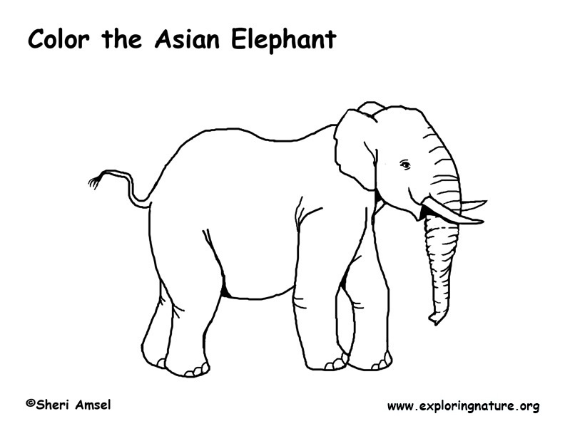 asia animal coloring pages | Elephant (Asian) Coloring Page