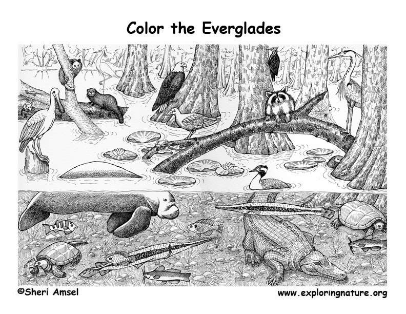 everglades coloring page. Black Bedroom Furniture Sets. Home Design Ideas