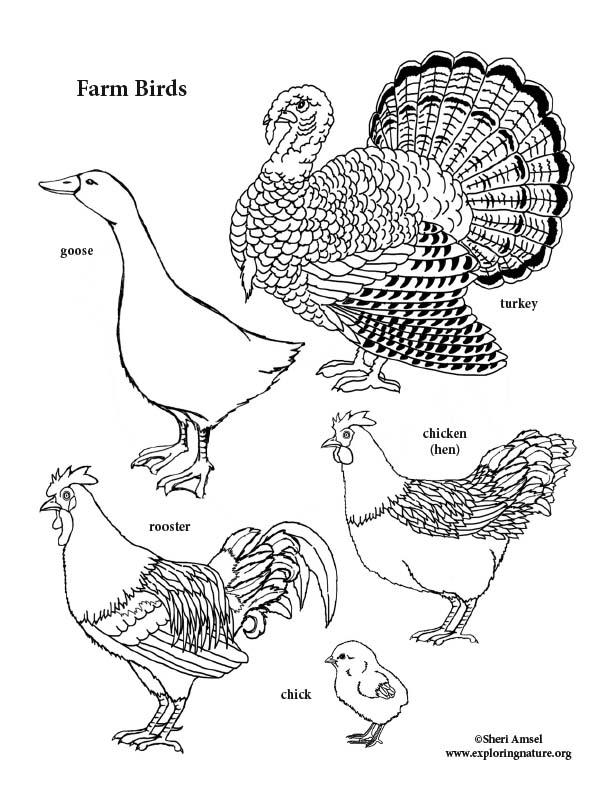 Farm Birds Coloring Page