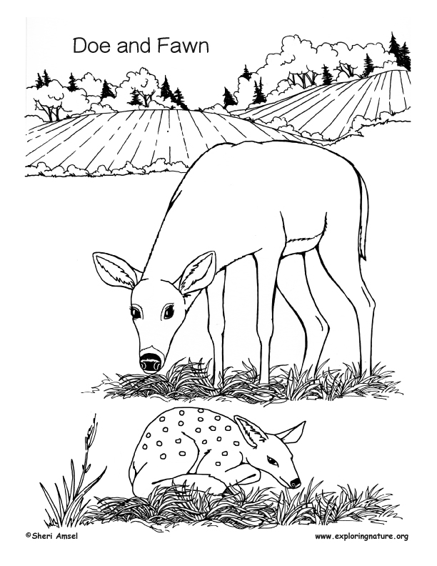 Doe And Fawn Coloring Page