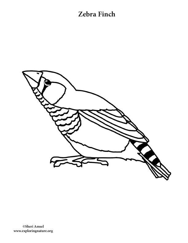 - Zebra Finch Coloring Page