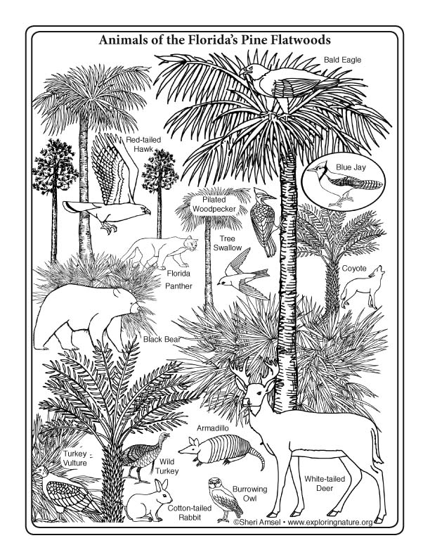 florida animals coloring pages - photo#29