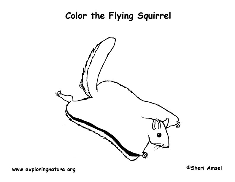 flying squirrel coloring page flying squirrel drawing easy