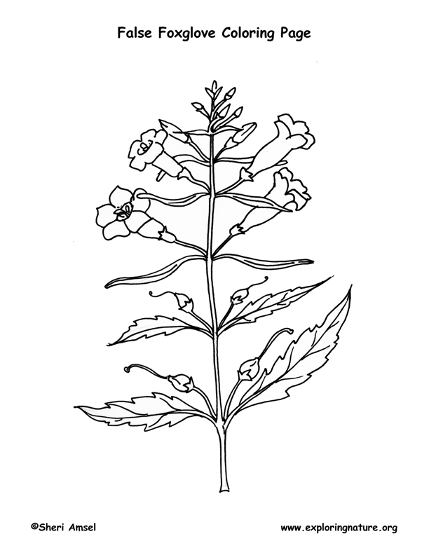 Foxglove (Smooth False) Coloring page
