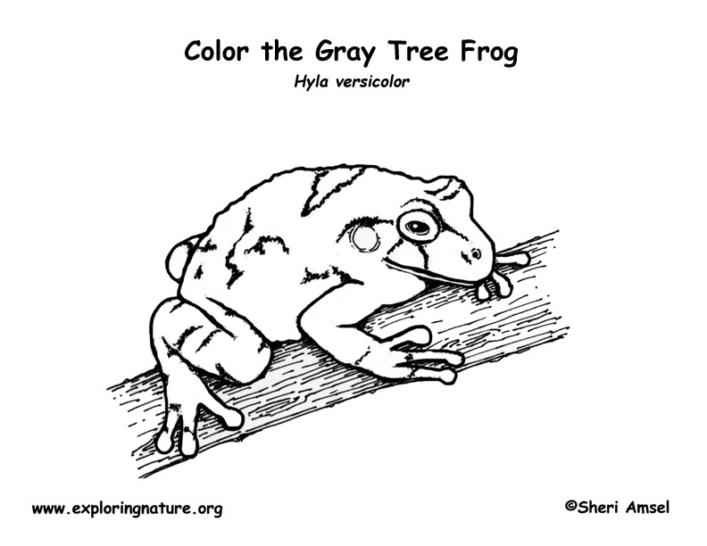 tree frog coloring page. Frog (Gray Tree Frog) Coloring