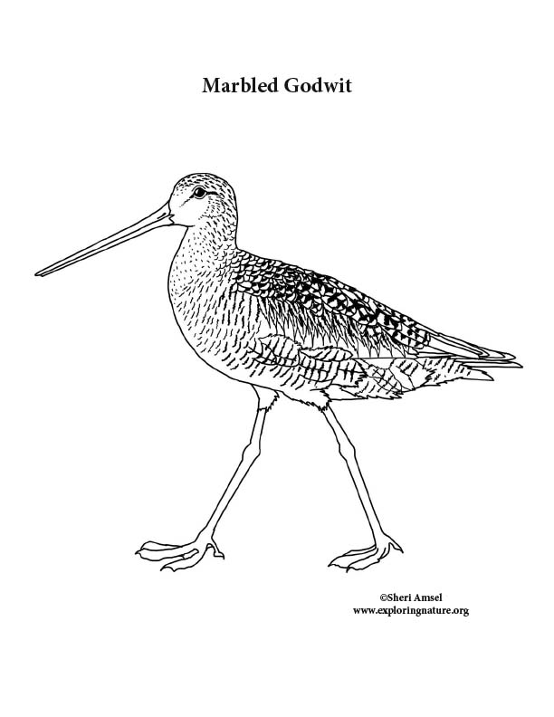 Marbled Godwit Coloring Page