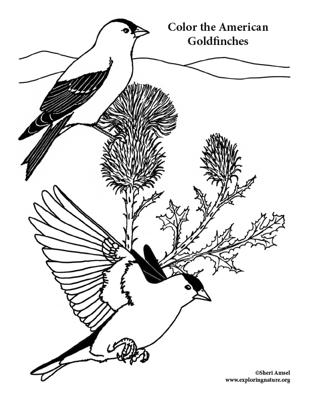 Goldfinches Coloring Page