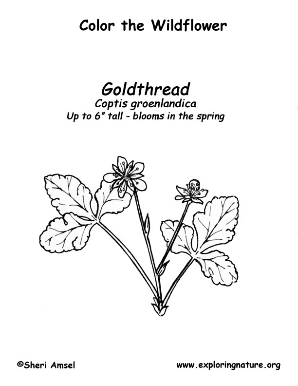 Goldthread Coloring Page
