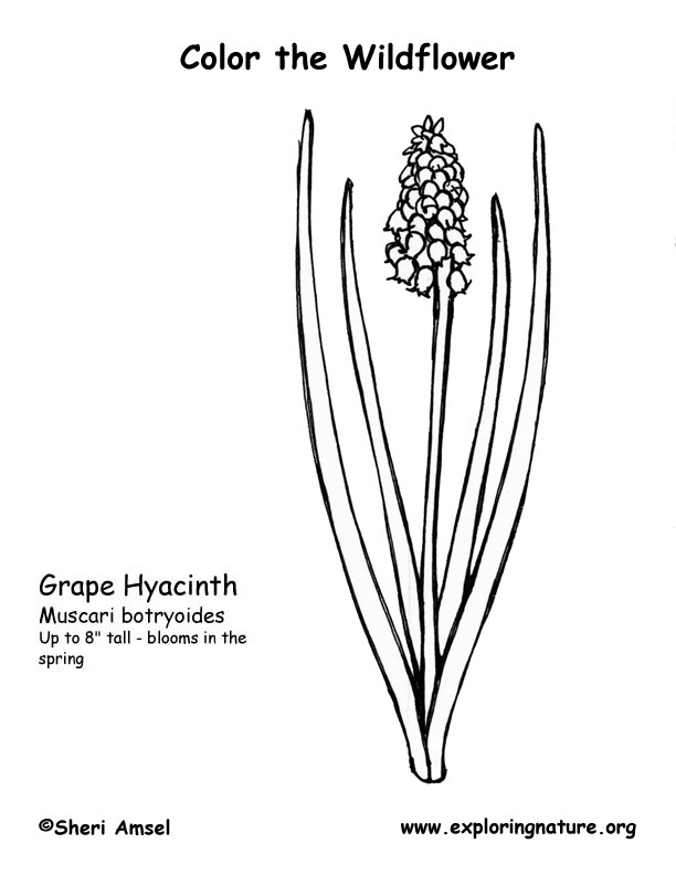grape hyacinth coloring page