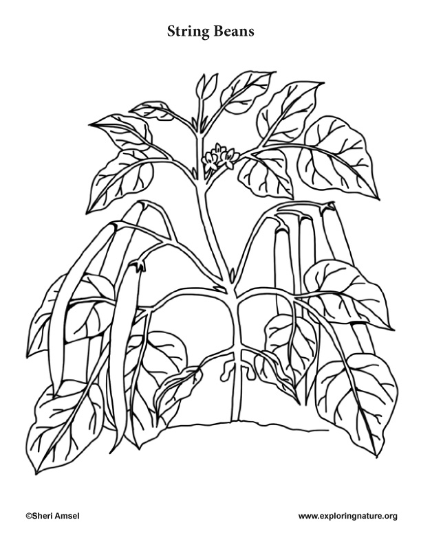 Green bean plants coloring coloring pages for Bean coloring page