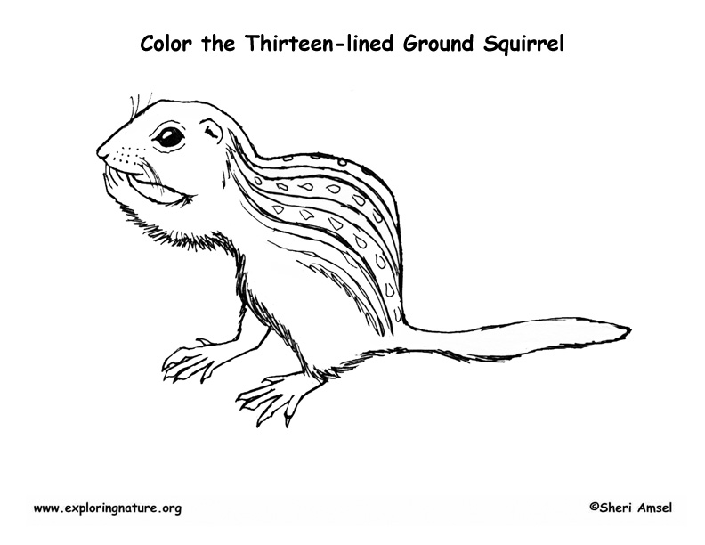 Thirteen-lined Ground Squirrel Coloring Page