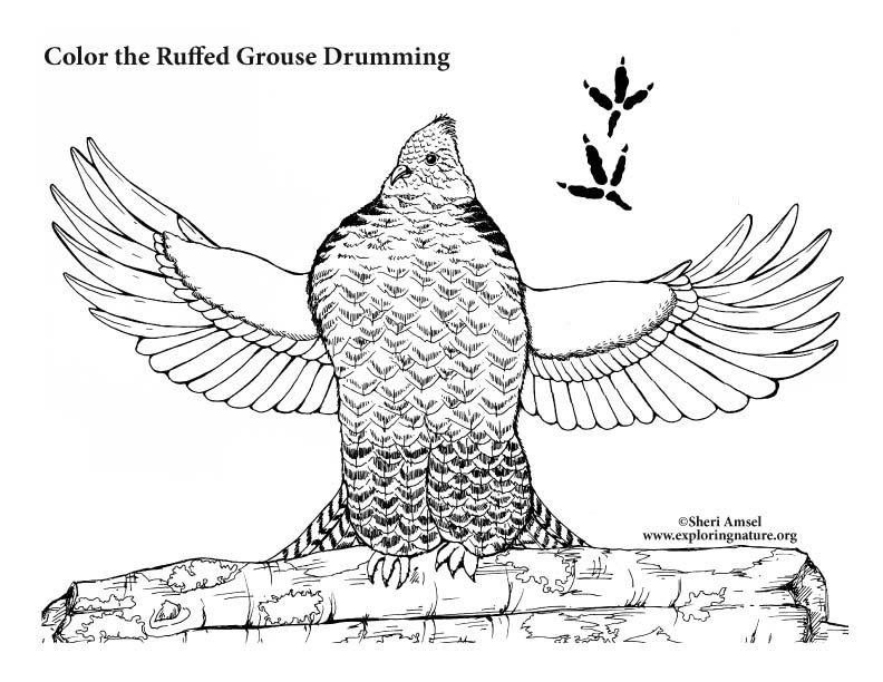 Ruffed Grouse Drumming Coloring Page