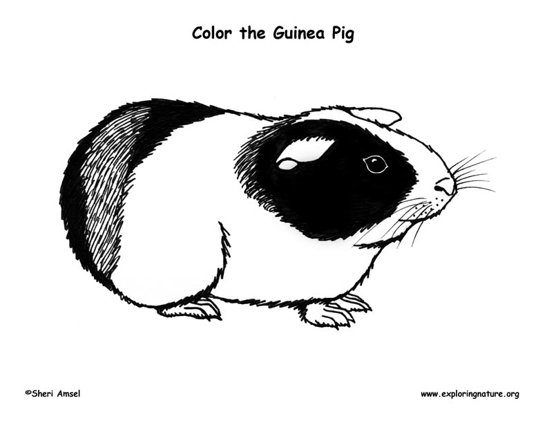Printable Coloring Pages Guinea Pigs