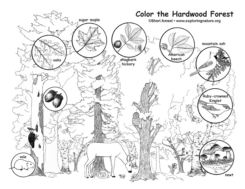 Hardwood Forest Coloring Page