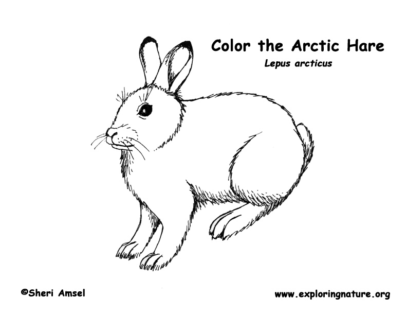 Arctic Hare Coloring Sheet Coloring Pages