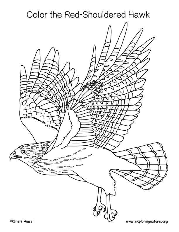 Hawk Red Shouldered Coloring Page
