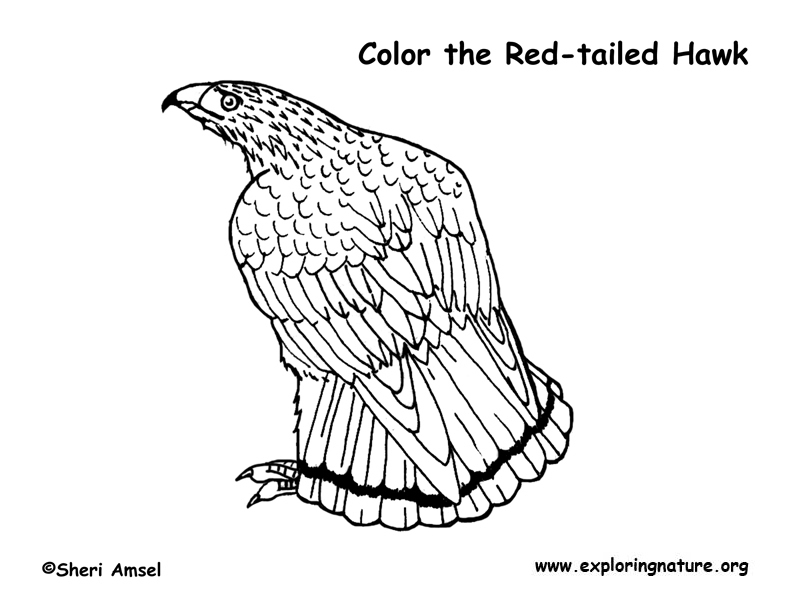 Hawk red tailed coloring page for Red tailed hawk coloring page