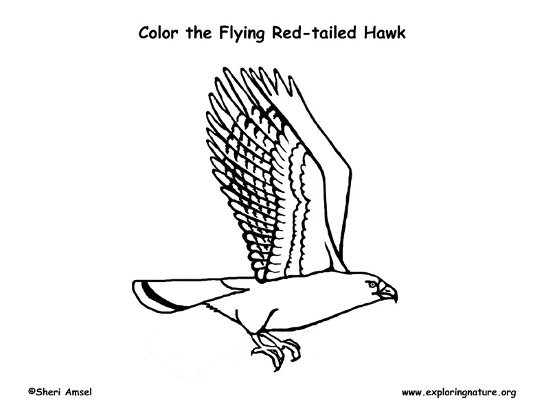 Hawk (Red-tailed) Flying Coloring Page