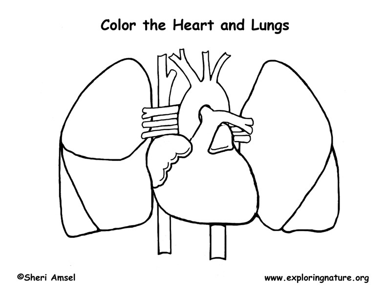 heart and lungs coloring page. Black Bedroom Furniture Sets. Home Design Ideas