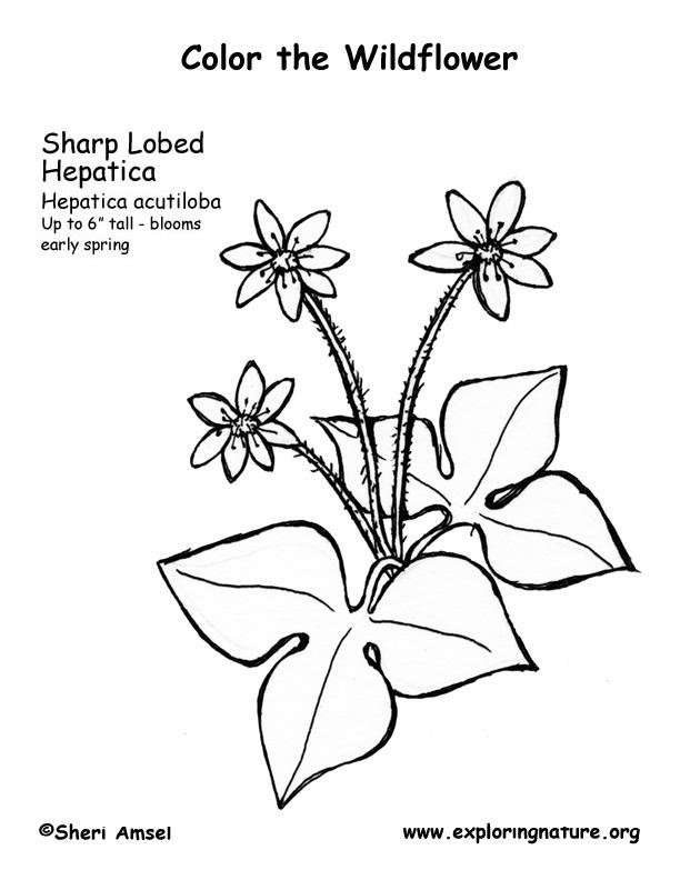 Hepatica Sharp Lobed Coloring
