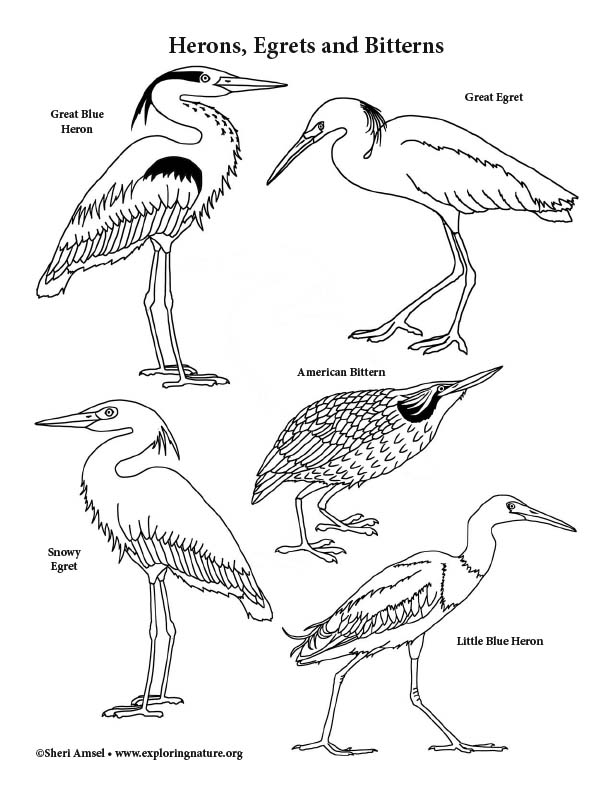 Herons, Egrets, Bitterns Coloring Page