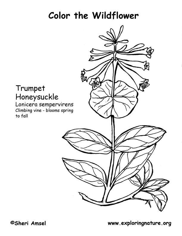 Honeysuckle Coloring Page