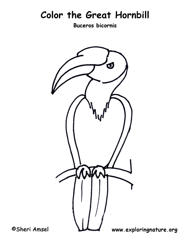 Hornbill (Great) Coloring Page