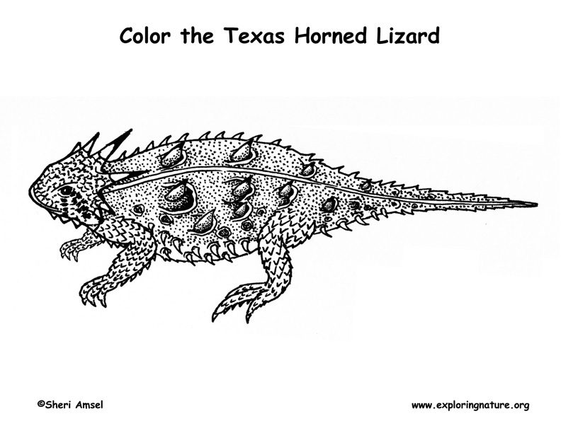 Lizard (Texas Horned ) - Also called Horned Toad