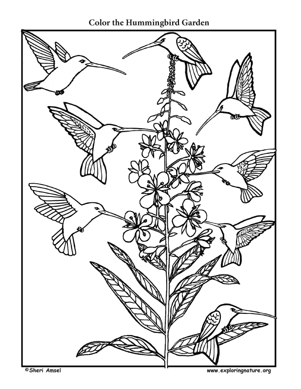 Hummingbird Garden Coloring