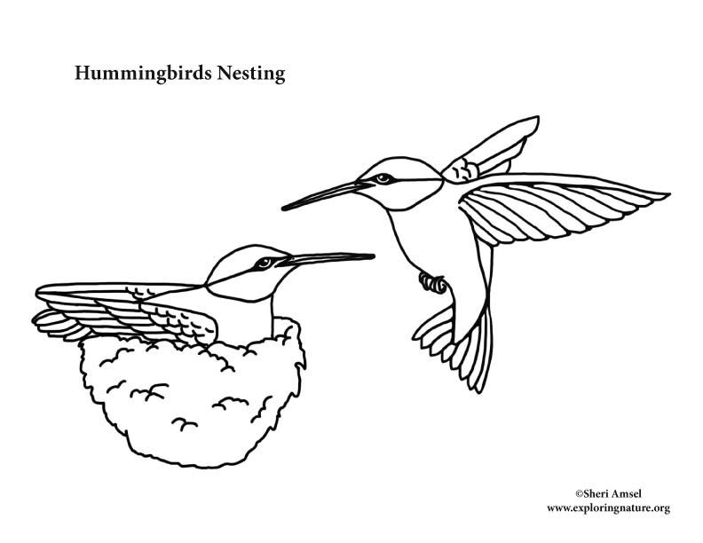 Hummingbirds Nesting