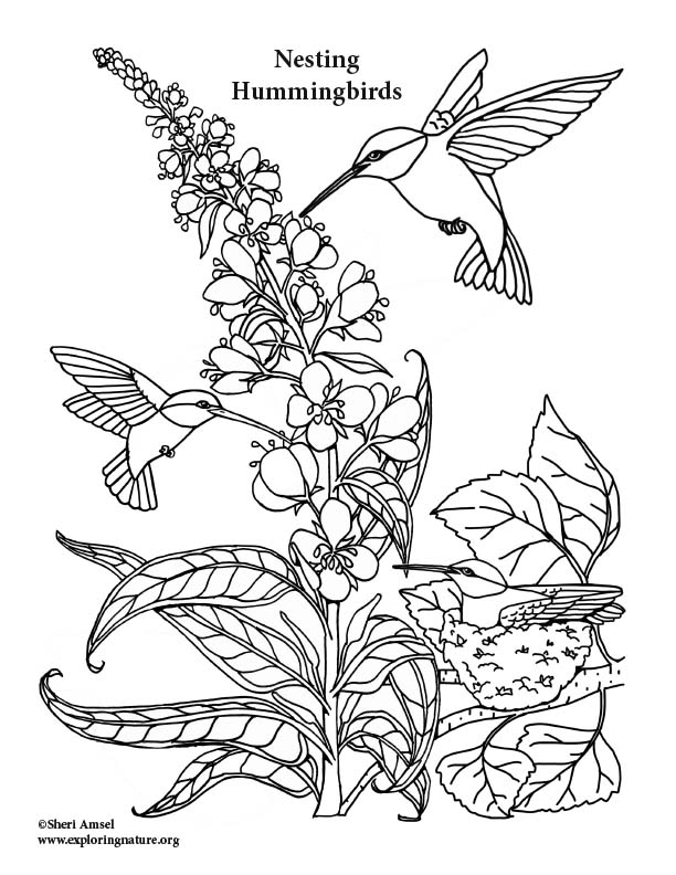 Hummingbirds Nesting and Feeding Coloring Page