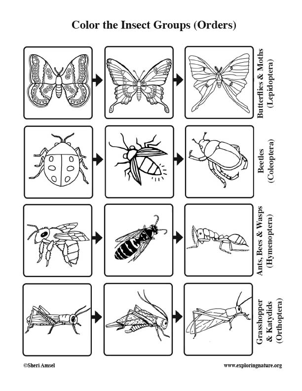Insect Groups (Orders) Coloring Page