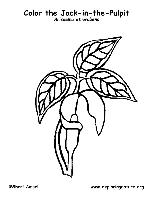 Jack in the Pulpit Coloring Page