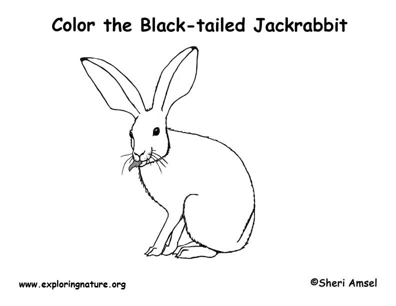Pin jack rabbit coloring page color sheet on pinterest for Jack rabbit coloring page
