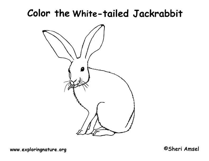 White-tailed Jackrabbit Coloring Page