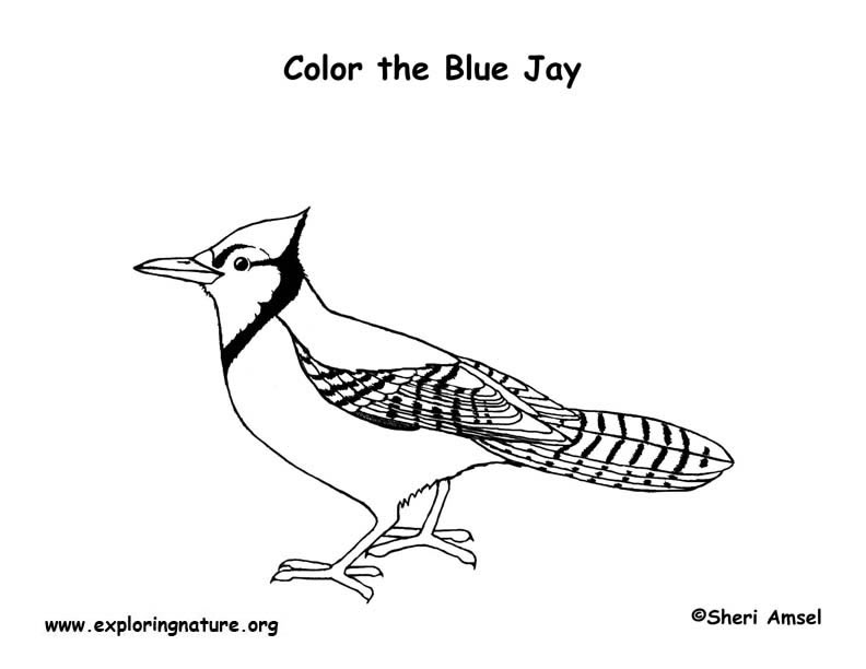 New Blue Jays Coloring Pages - cool wallpaper