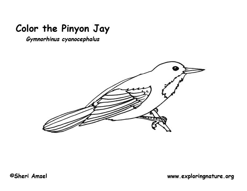 Jay (Pinyon) Coloring Page