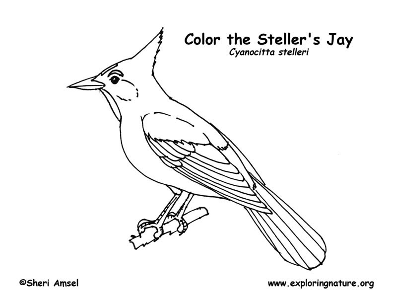 Coloring pages jayjay ~ Jay (Stellar's) Coloring Page