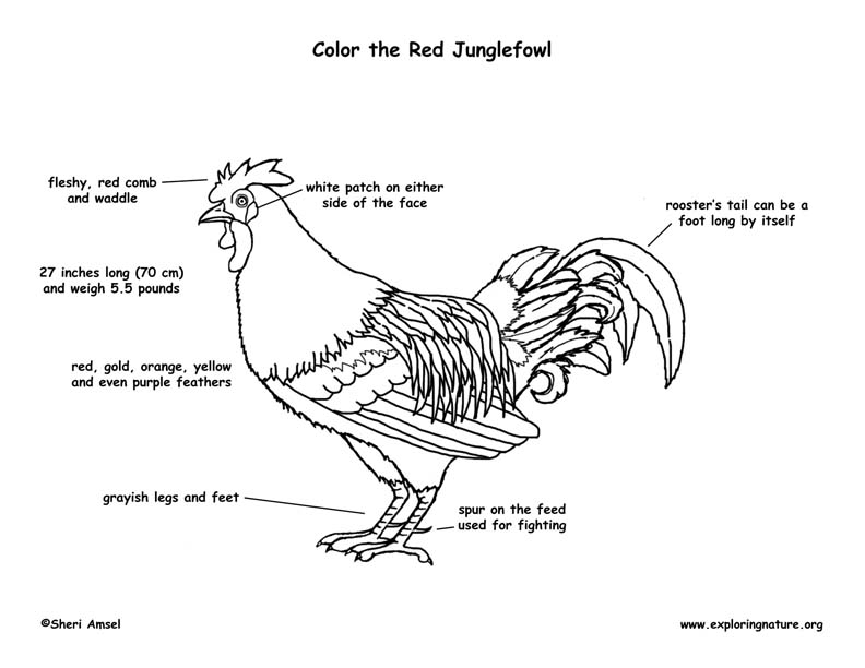 red junglefowl coloring page