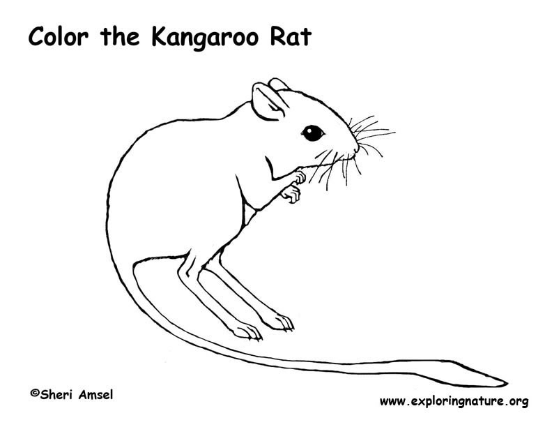 kangaroo rat scientific classification diagram