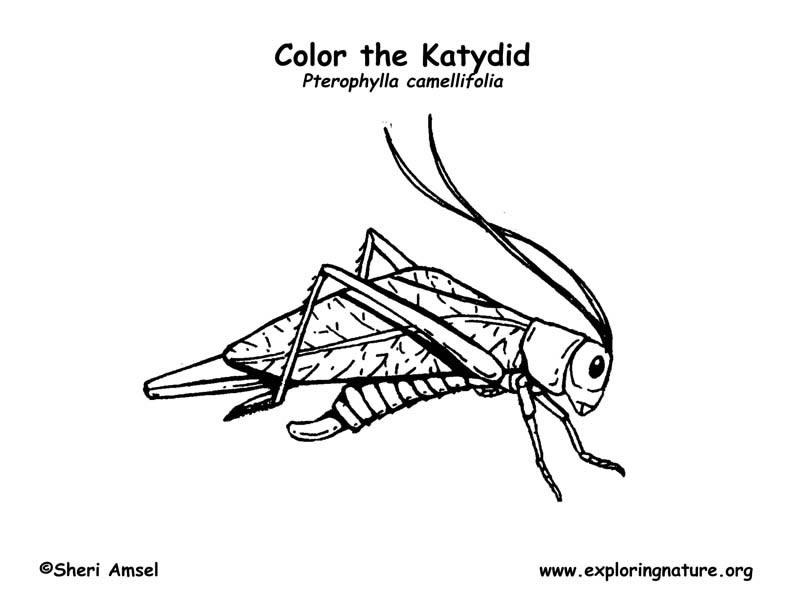 Katydid Coloring PageExploring Nature