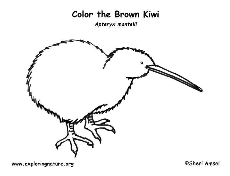 Kiwi brown coloring page for Kiwi bird coloring page