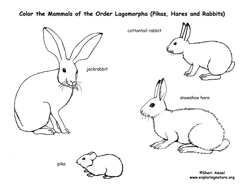 Rabbit Anatomy Coloring Book : Rabbits, Hares and Pikas (Lagomorphs) Coloring Page