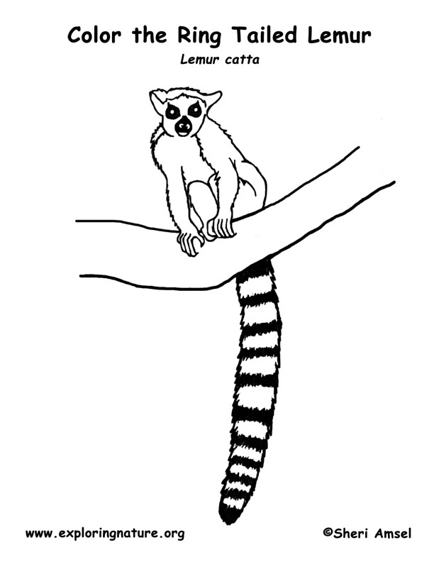 Lemur Ring tailed Coloring Page