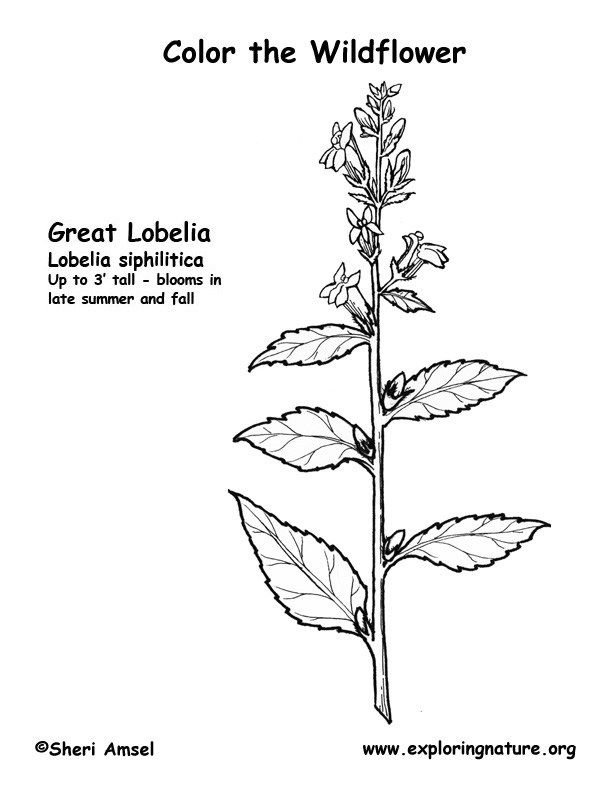 Lobelia (Great) Coloring Page