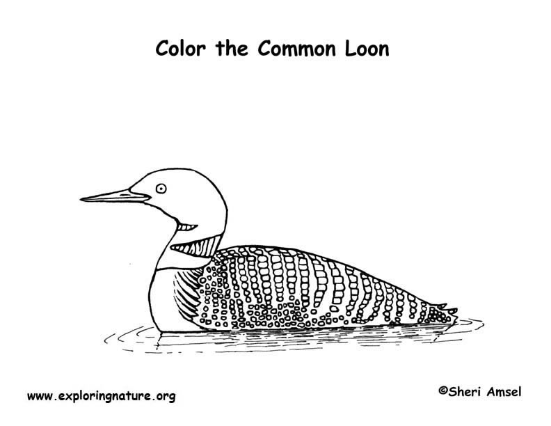 Loon Common Coloring Page
