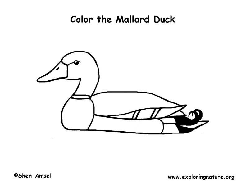 Duck (Mallard) Coloring Page