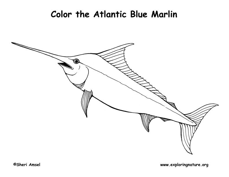 Marlin Atlantic Blue Coloring Page