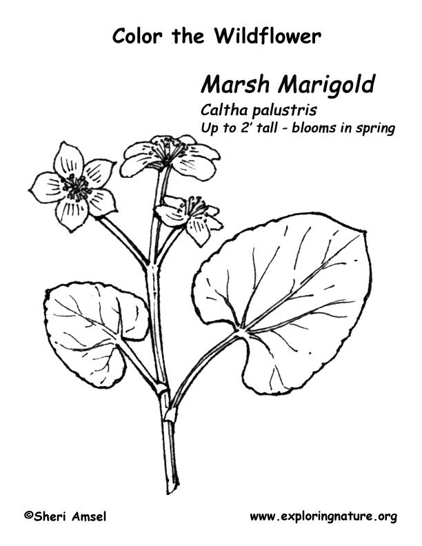 marsh marigold coloring page